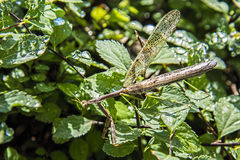 Preying mantis,walking-stick. A large preying mantis also known as walking-stick on a green bush Stock Images