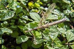 Preying mantis,walking-stick Stock Images