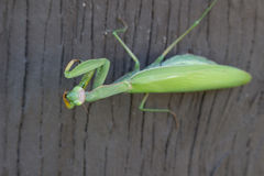 A preying mantis on a wall looking right at you. A preying mantis on a wall looking up, right at you Stock Photo