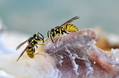 Preying wasps Royalty Free Stock Images