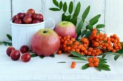 Prezenty jesień: jabłka, czereśniowa śliwka, halny popiół na białym tle Wciąż życie w kolorze żółtym, pomarańcze, czerwień zdjęcia royalty free