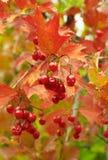 Prezenty jesień viburnum Zdjęcie Royalty Free