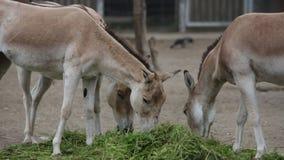 Prezewalshy häst som äter högen av gräs lager videofilmer