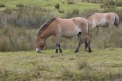 Przewalski horse grazing on grass as portrait or with background, adults and juvenile. Stock Photo