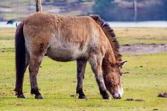 Prezwalski häst Royaltyfria Foton