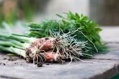 Prezzemolo della cipolla verde sulla tavola di legno Natura morta del raccolto degli agricoltori Fuoco selettivo Fotografia Stock