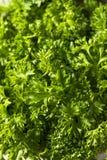 Prezzemolo riccio organico verde crudo Fotografia Stock