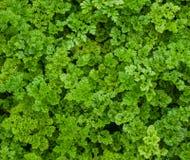Prezzemolo riccio verde Fotografie Stock Libere da Diritti
