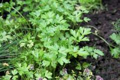 Prezzemolo verde fresco in giardino Immagine Stock