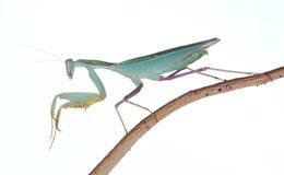 prière de mantis Images stock