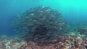 Priacántido Trevallies en un arrecife de coral 4k almacen de metraje de vídeo