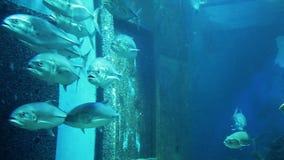 Priacanto Trevally della scuola in acquario video d archivio