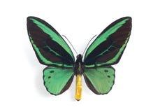 Priamus de Ornithoptera Foto de Stock