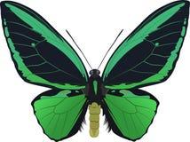Priamus di Ornithoptera Immagine Stock