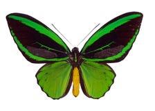 Priamus di Ornitoptera fotografie stock libere da diritti