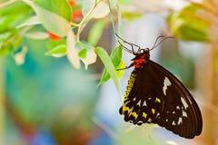 Priamusvlinder van Ornithoptera, wijfje Stock Foto's