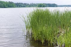 Pribrezhnaya grass cattail. Green grass near the river and forest in the background Royalty Free Stock Photography