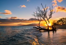 Olowalu Tree in the Ocean at the Sunset in Maui, Hawaii royalty free stock image