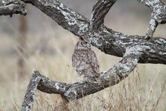 prickig örnowl Fotografering för Bildbyråer