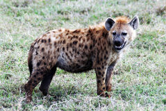 prickig afrikansk hyena Royaltyfri Bild