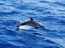 prickig atlantisk delfin Arkivfoton