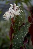 Prickig begonia Arkivbilder
