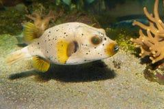 Prickig Ck eller förföljer den vände mot Pufferfisken Arkivbilder