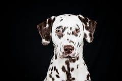prickig dalmatian lever arkivfoto
