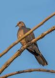 Prickig duvafågel Arkivbilder