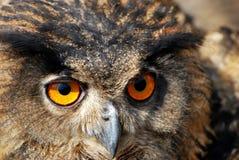 Prickig Eagle-uggla Royaltyfri Bild