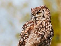 Prickig Eagle-uggla i ett träd Fotografering för Bildbyråer