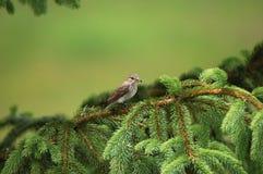 prickig flycatcher Arkivbild