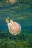 Prickig gelé för Mastigias manet i det karibiska havet Arkivfoton