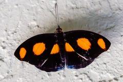 Prickig Grecian fjäril med breda öppna vingar royaltyfri foto