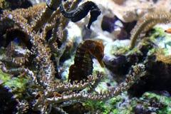 Prickig havshäst i akvarium alt-varelse på för havet, hav Arkivfoton
