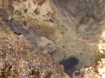 Prickig havshare och en havsgatubarn under vatten Royaltyfri Foto