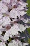 prickig heathorchid arkivfoton