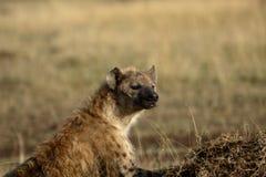 prickig hyena Arkivbilder