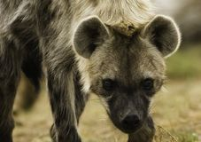 prickig hyena royaltyfri bild