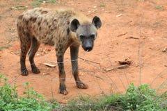 prickig hyena Royaltyfri Fotografi
