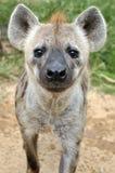 prickig hyena Fotografering för Bildbyråer