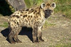 prickig hyena Arkivbild