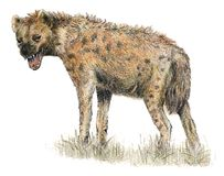prickig hyena stock illustrationer