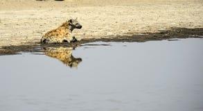Prickig hyena, med reflexion i vatten Royaltyfri Fotografi