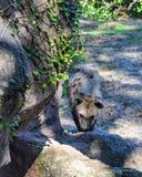 Prickig hyena som omkring går i zoo royaltyfri bild