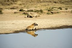 Prickig hyena som sitter i vatten med huvudet som ser upp righ Arkivbild