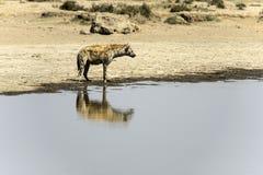 Prickig hyena som står i vatten som ser högert Royaltyfria Foton