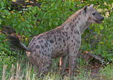 prickig hyenakringstrykande Royaltyfri Fotografi