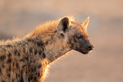 prickig hyenastående Arkivbilder