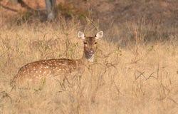 Prickig kvinnlig för Deer/Chital/Cheetal (axelaxel) i en grässlätt på Ranthambhore Arkivfoton
